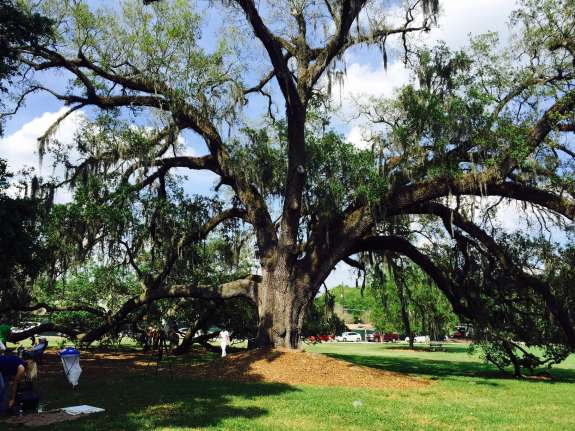 The live oak at Constitution Green, Thornton Park. Photo: Catherine Welch, WMFE