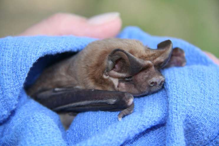 The Florida bonneted bat is an endangered species. Photo: FL Fish and Wildlife Conservation Commission