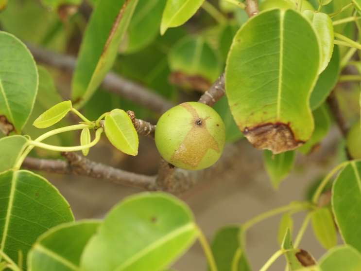 """The manchineel tree is native to Florida. It's expected to be named """"the world's most dangerous tree"""" by the Guinness Book of World Records for the sixth year in a row."""