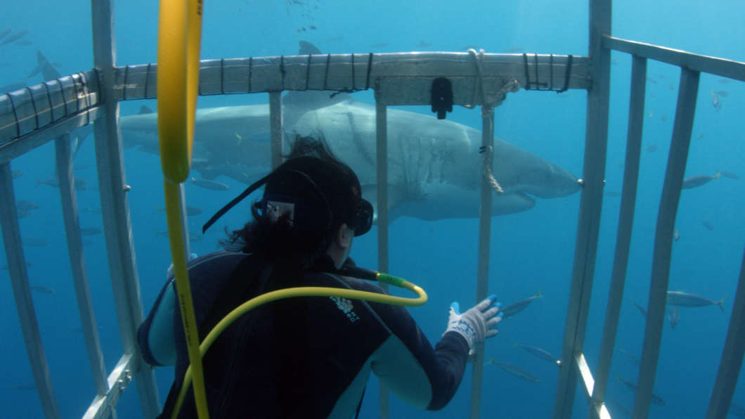 Dr. Toby Daly-Engel collecting a skin sample from a white shark in Mexico. Photo courtesy: Discovery Communications