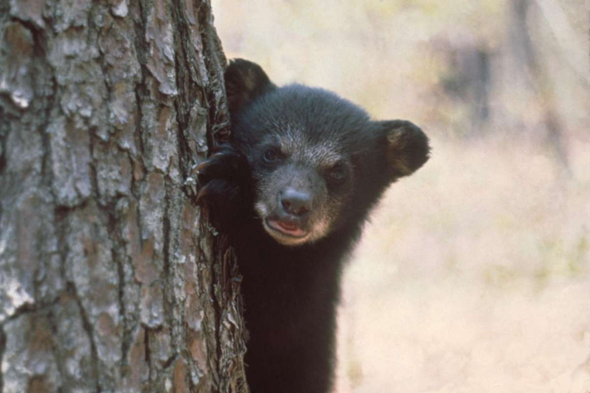 During the spring in Florida, mama bears and their cubs are roaming around looking for food. So don't leave your garbage out. Photo: FWC