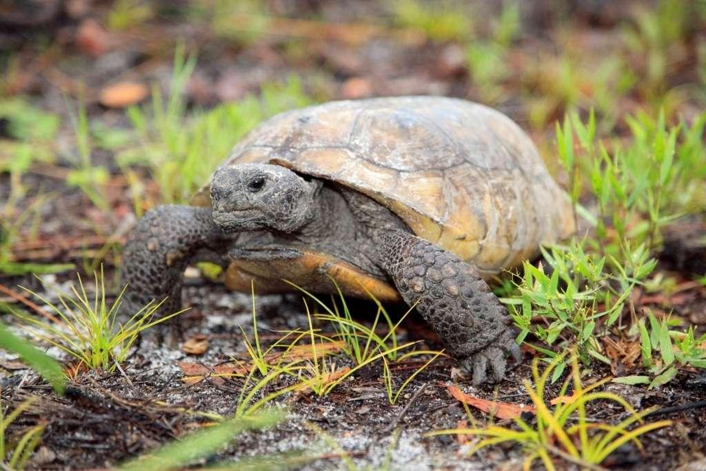 Gopher tortoise. Photo courtesy Florida Fish and Wildlife Conservation Commission