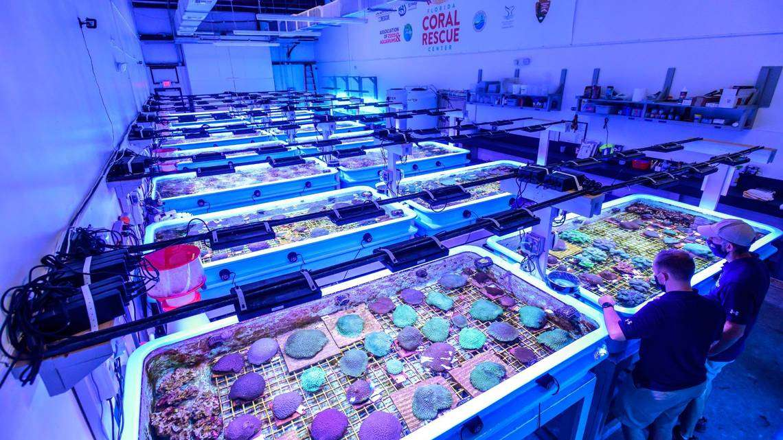 The Florida Coral Reef Rescue Center in Orlando preserves hundreds of specimens that researchers hope will serve as sort of a seed bank for future restoration. Special lighting gives the room a bluish hue and is designed to mimic the marine environment. Photo courtesy SeaWorld Orlando